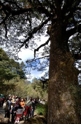 大鐵杉與遊客的對話-凌鈺惠攝