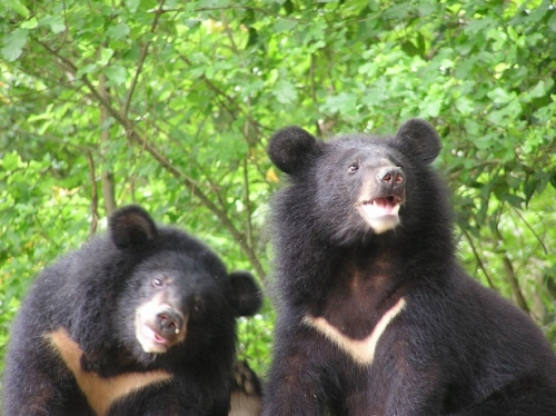 the number of existing Formosan black bears that live in the wilderness is estimated to be around 200 to 600.